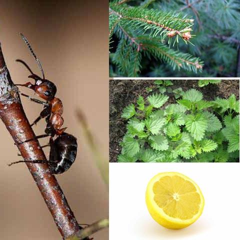 Мурашина кислота міститься в тілі мурашки, хвої, кропиві; лимонна кислота – у лимоні