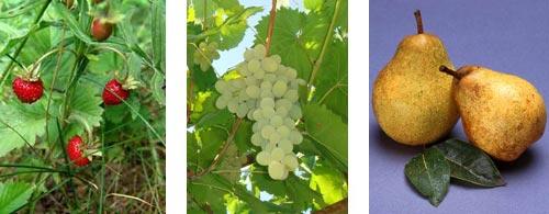 Глюкоза входить до кладу фруктів