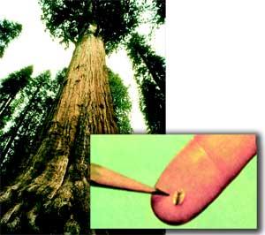 З крихітної насінини виростає гігантська секвоя