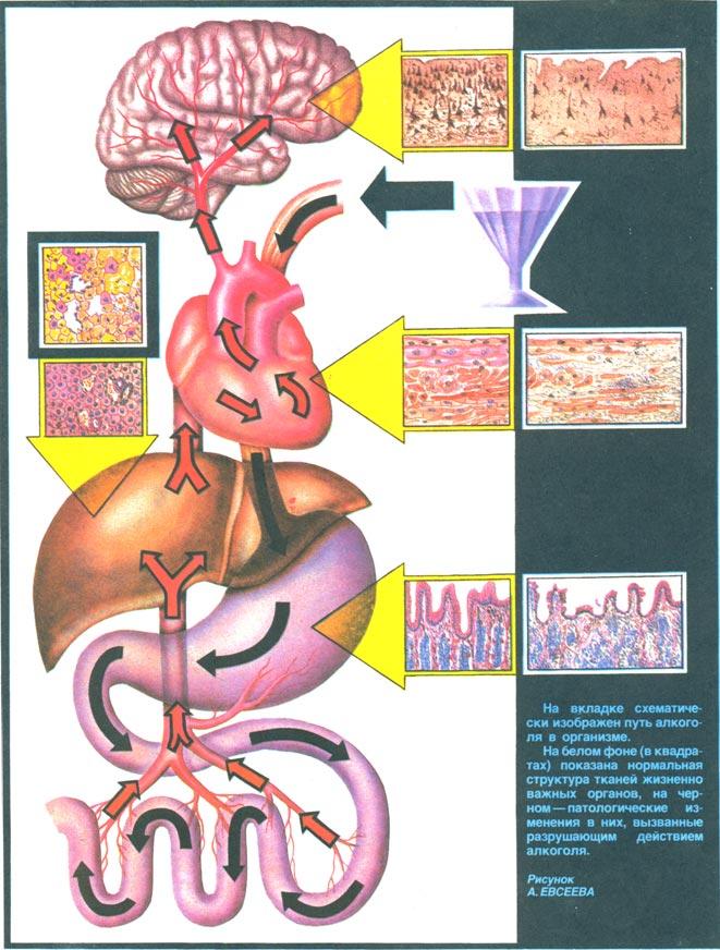 Рух алкоголю в організмі
