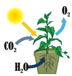 Схема процесу фотосинтезу