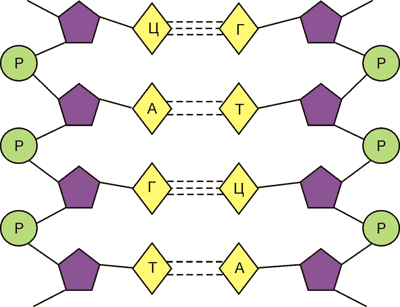 хема подвійної спіралі ДНК