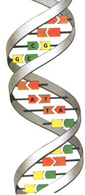 Схема подвоєної молекули  ДНК
