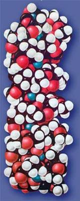 Рис. 37. Схема молекули ДНК.
