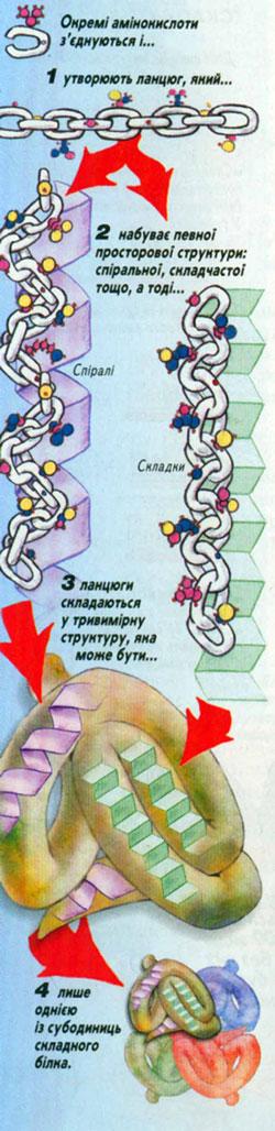 Схема структури білкової молекули